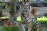 Harimau diduga berkeliaran dekat kantor bupati, KSDA pasang kamera pengintai