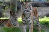BKSDA pasang kamera trap atau pengintai demi memastikan jejak harimau