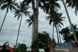 Lomba panjat kelapa tradisional promosi pariwisata Parigi Moutong
