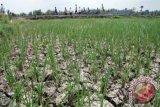 Akibat kemarau panjang, ribuan hektare sawah di Batanghari Jambi terancam gagal panen