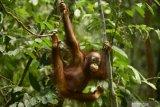 OrangutanDays dan  YKAN  implementasikan pariwisata berkelanjutan