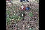 Ini video viral di medsos, seorang pelajar SD putus kaki tertabrak pick up