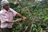 Petani terdampak PPN 10 persen ekspor biji kopi Gayo