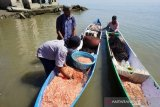 Udang hasil tangkapan nelayan Palu melimpah