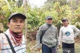 Pemkab Lutim segera remajakan tanaman kakao tua pada 2020