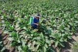Rencana naikkan cukai rokok hancurkan petani tembakau