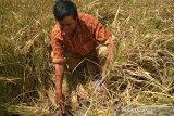 Kekeringan, puluhan hektare tanaman padi di Pati puso