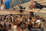 Seorang warga memberikan pakan ternak ayam kampung di Kawasan Rumah Pangan Lestari (KRPL) Desa Kubu, Kecamatan Arongan Lam Balek, Aceh Barat, Aceh, Sabtu (31/8/2019). Pemerintah Kabupaten Aceh Barat melalui Dinas Pangan menyalurkan 9.450 ekor ayam kampung kepada tujuh kelompok di tujuh Kecamatan untuk meningkatkan produksi ternak dalam rangka mempercepat penganekaragaman pangan dan memperkuat ekonomi masyarakat. Antara Aceh/Syifa Yulinnas.