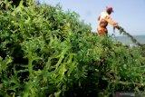 SRG rumput laut di Makassar permudah ekspor bagi petani