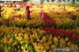 Kudus memiliki objek wisata baru taman bunga celocia