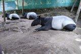 BBKSDA Sumut titipkan sementara Tapir di THPS