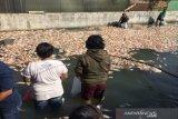 Akibat pintu air ditutup, lima ton ikan air tawar di kolam mati