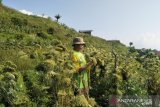 Bantuan benih unggul untuk petani yang gagal panen