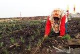 Pemprov laksanakan penanaman padi di lahan gambut Palangka Raya