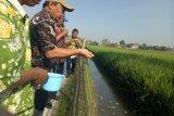 Tiga keuntungan integrasi  budidaya ikan dan padi