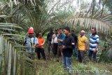 Soal penampakan Harimau di Siak, begini penjelasan Camat Kandis