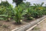 DPP dorong Kebun Plasma Pisang Yogyakarta hasilkan kultivar baru