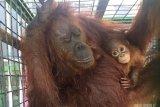Kebakaran lahan membuat orangutan makin tersisih