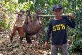 Babi hutan rusak lahan pertanian hingga petani tidak bisa panen