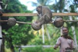 Kemendes PDTT tinjau sekolah beruk di desa wisata Pariaman Sumbar