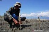Program penanaman mangrove upaya mitigasi bencana