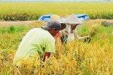 DPRD minta Pemkab Kotim lebih serius membangun sektor pertanian