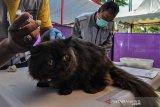 Petugas memberikan vaksin untuk kucing peliharaan di Halaman Puskeswan, Leuwidahu, Kota Tasikmalaya, Jawa Barat, Jumat (13/9/2019). Dalam rangka menyambut Hari Rabies Sedunia pada 28 September, Dinas Pertanian dan Perikanan Kota Tasikmalaya mengadakan pemeriksaan kesehatan sekaligus vaksin rabies gratis bagi warga yang mempunyai hewan peliharaan kucing, anjing, dan kera dengan target 265 hewan. ANTARA JABAR/Adeng Bustomi/agr