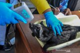 Petugas memeriksa suhu badan hewan peliharaan musang di Halaman Puskeswan, Leuwidahu, Kota Tasikmalaya, Jawa Barat, Jumat (13/9/2019). Dalam rangka menyambut Hari Rabies Sedunia pada 28 September, Dinas Pertanian dan Perikanan Kota Tasikmalaya mengadakan pemeriksaan kesehatan sekaligus vaksin rabies gratis bagi warga yang mempunyai hewan peliharaan kucing, anjing, dan kera dengan target 265 hewan. ANTARA JABAR/Adeng Bustomi/agr