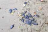 Ribuan ikan mati terdampar di pesisir pantai Ambon, warga khawatir tsunami datang
