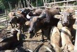 Bupati Lebak mendorong warga kembangkan ternak kerbau