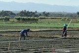 Petani di Gunung Kidul diminta waspadai hama ulat grayak