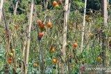 Harga jual murah, buah tomat dibiarkan membusuk di pohonnya