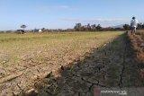 Bendungan rusak, 50 hektare sawah di Ranomeeto kering