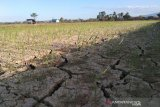 Puluhan petani padi di Ranomeeto, Sultra, belum mengikuti asuransi