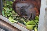 355 orangutan di pusat rehabilitasi  terancam terpapar kabut asap