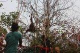 BKSDA Kalbar-IAR Indonesia menyelamatkan dua orangutan di lokasi karhutla