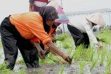 Tingkatkan produksi padi, Tanah Datar galakkan Jarwo 21