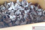 20 kilogram sampel sarang burung walet dikirim ke Brunei-Thailand