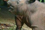Badak Sumatera diyakini masih ada di Kalimantan