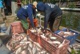 Disnakan OKU Timur akui produksi  ikan patin berlimpah