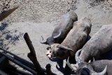 Pemerintah Poso-Sulteng diharap bantu bibit kerbau jantan untuk warga Lore