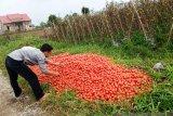 Harga anjlok, petani buang tomat