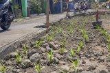 Warga tanam jagung di bekas galian drainase Jalan Supomo