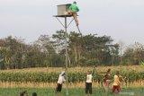Malaysia andalkan burung hantu basmi tikus di perkebunan sawit