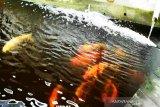 Kotim siapkan stasiun pengembangan ikan lokal