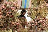 Tahun ini, Tanah Datar kembangkan 125 hektare tanaman bawang merah dan bawang putih