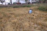 Palembang bersiap  masuki musim tanam padi kedua