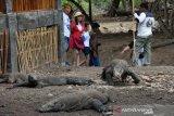 Artikel - Komodo dan nasib para penghuni Pulau Komodo