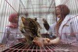 Seekor macan akar atau kucing hutan (Felis bengalensis) hasil sitaan berada dalam kandang Balai Konservasi Sumber Daya Alam (BKSDA) Aceh di Banda Aceh, Aceh, Kamis (26/9/2019). Selain menyita macan akar, BKSDA Aceh menyita burung elang tikus dan rangkong badak yang merupakan satwa langka dan dilindungi peliharaan warga di Kota Banda Aceh dan Kabupaten Aceh Utara untuk direhabilitasi serta dikembalikan kehabitatnya. Antara Aceh/Irwansyah Putra.