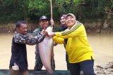 Minta hujan, Pemkab dan masyarakat Dayak Kobar gelar ritual Menuba Adat